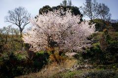 Árbol solo de sakura Imagen de archivo libre de regalías