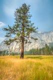 Árbol solo de Yosemite Foto de archivo libre de regalías