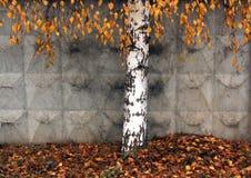 Árbol solo del bearch en otoño Imagen de archivo
