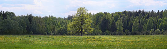 Árbol solo del prado del bosque Imágenes de archivo libres de regalías