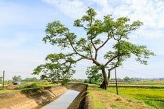 Árbol solo en arroz de oro Imagen de archivo libre de regalías