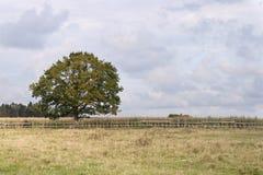 Árbol solo en el campo de maíz Fotos de archivo