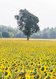 Árbol solo en el campo del girasol Fotos de archivo libres de regalías