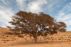 Árbol solo en el desierto Foto de archivo libre de regalías