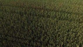 Árbol solo en el medio de un campo de hierba almacen de metraje de vídeo