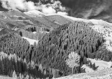 Árbol solo en escarcha-cubierto en montaña Foto del BW Imagen de archivo