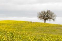 Árbol solo en la colina amarilla Fotos de archivo libres de regalías