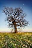 Árbol solo en prado grean Imagen de archivo