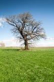 Árbol solo en prado verde Foto de archivo