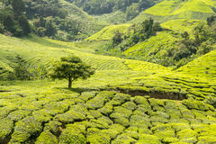 Árbol solo en prado verde Imagen de archivo