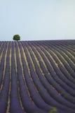 Árbol solo en un campo de la lavanda Foto de archivo libre de regalías