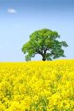 Árbol solo en un campo de la violación bajo el cielo claro Imágenes de archivo libres de regalías