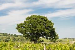 Árbol solo en viñedos Foto de archivo libre de regalías