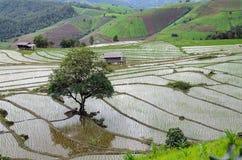 Árbol solo entre campo joven del arroz en la terraza del arroz, mou hermoso imagen de archivo libre de regalías