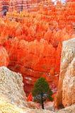 Árbol solo entre Hoodoos coloridos en la barranca de Bryce Fotos de archivo