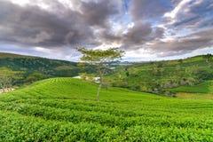 Árbol solo entre la colina del té verde como punto culminante para el té agrícola de la riqueza Imagen de archivo libre de regalías