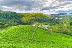 Árbol solo entre la colina del té verde como punto culminante para el té agrícola de la riqueza Fotos de archivo libres de regalías