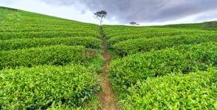 Árbol solo entre la colina del té verde como punto culminante para el té agrícola de la riqueza Fotos de archivo
