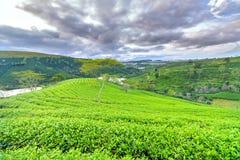 Árbol solo entre la colina del té verde como punto culminante para el té agrícola de la riqueza Imagenes de archivo