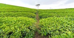 Árbol solo entre la colina del té verde como punto culminante para el té agrícola de la riqueza Imágenes de archivo libres de regalías