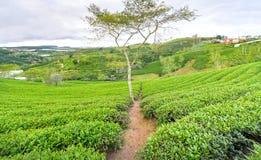 Árbol solo entre la colina del té verde como punto culminante para el té agrícola de la riqueza Foto de archivo