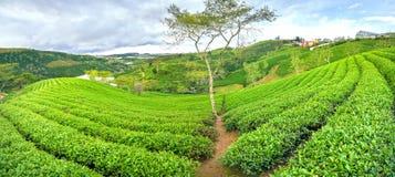 Árbol solo entre la colina del té verde como punto culminante para el té agrícola de la riqueza Foto de archivo libre de regalías