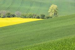 Árbol solo grande en campos verdes y amarillos Imagenes de archivo