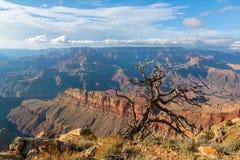 Árbol solo sobre el borde del sur de Grand Canyon, Arizona, los E.E.U.U. Fotos de archivo libres de regalías