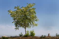 Árbol solo y cielo azul Imágenes de archivo libres de regalías