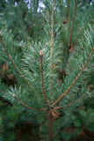 Árbol Spruce imagen de archivo