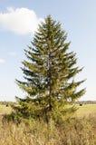 Árbol Spruce Imágenes de archivo libres de regalías