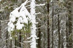 Árbol Spruce imagen de archivo libre de regalías