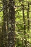 Árbol Spruce Fotografía de archivo