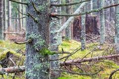 Árbol Spruce foto de archivo libre de regalías