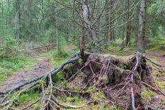 Árbol spruce caido fotos de archivo