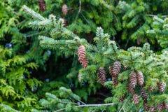Árbol Spruce con los conos Fotografía de archivo