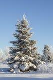 Árbol Spruce del invierno foto de archivo