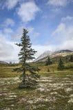 Árbol Spruce en verano Fotos de archivo libres de regalías
