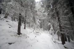 Árbol Spruce Forest Covered de niebla por la nieve en paisaje del invierno Fotografía de archivo libre de regalías