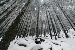 Árbol Spruce Forest Covered de niebla por la nieve en paisaje del invierno Fotos de archivo libres de regalías