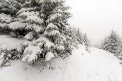 Árbol Spruce Forest Covered de niebla por la nieve en paisaje del invierno Foto de archivo