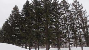 Árbol spruce grande en un día de invierno nublado metrajes