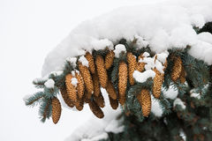 Árbol spruce imperecedero de la Navidad debajo de la nieve Foto de archivo