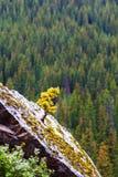 Árbol Spruce recién nacido que crece en lugares duros Foto de archivo
