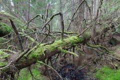 Árbol Spruce viejo imagenes de archivo