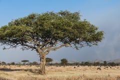 Árbol típico en África Foto de archivo libre de regalías