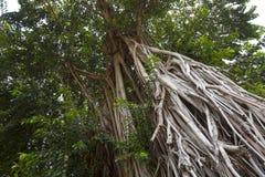 Árbol tópico - elastica de los ficus Foto de archivo