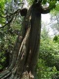 Árbol torcido Fotos de archivo