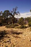Árbol torcido del enebro Foto de archivo libre de regalías