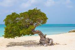 Árbol torcido en Eagle Beach, Aruba fotos de archivo